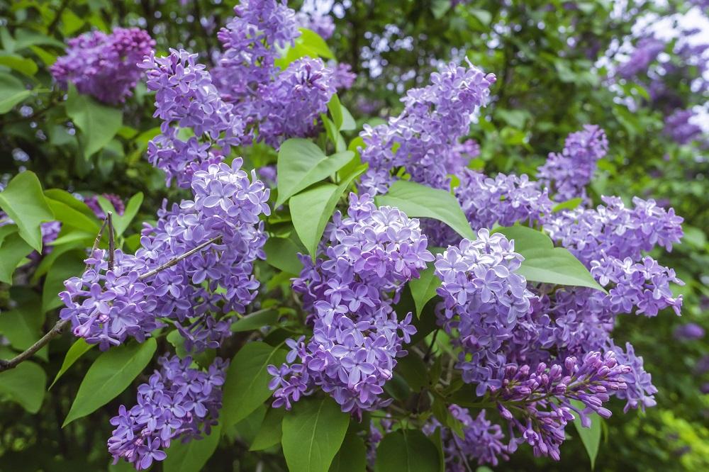 Come coltivare il Lillà in giardino e in vaso