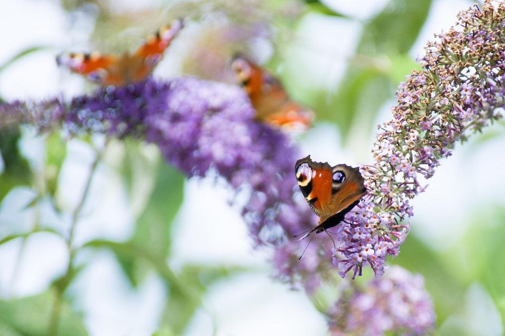 Come coltivare la Buddleja: la pianta amica della biodiversità