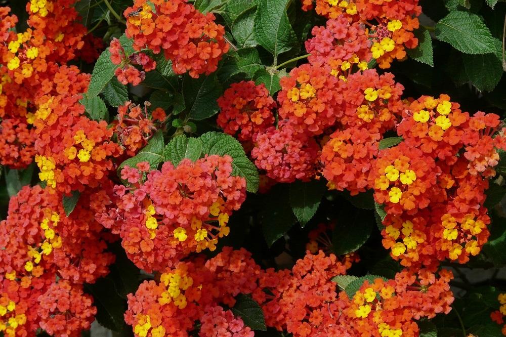Come coltivare la Lantana in giardino e in vaso