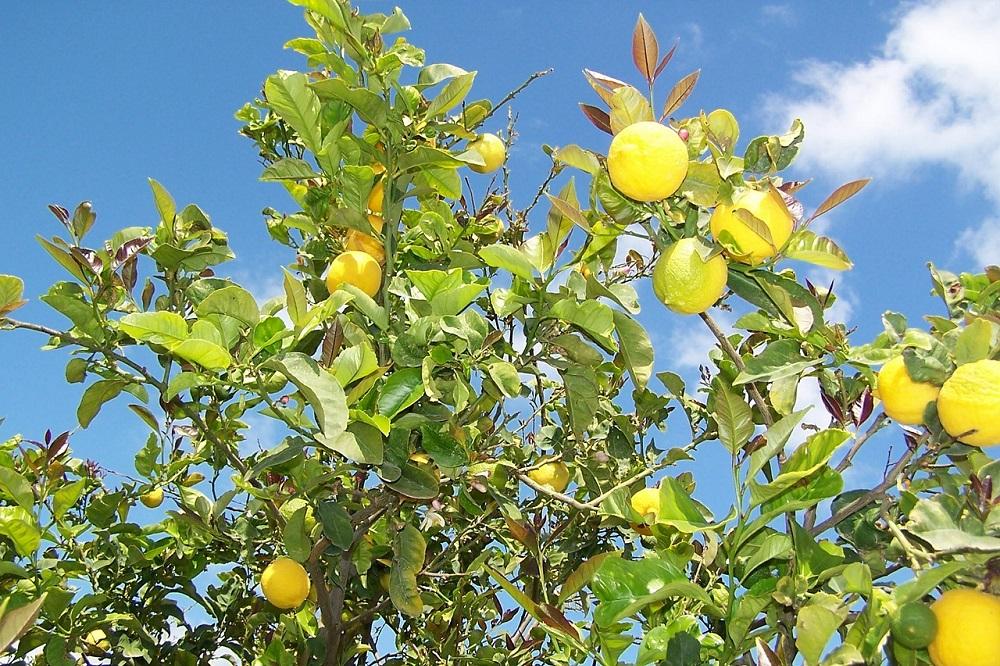 Come coltivare il Limone in giardino e in vaso