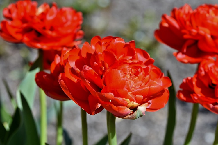 coltivare i Tulipani - Tulipani doppi
