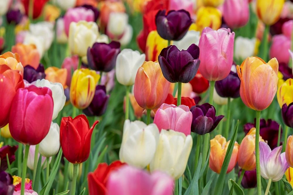 coltivare i Tulipani