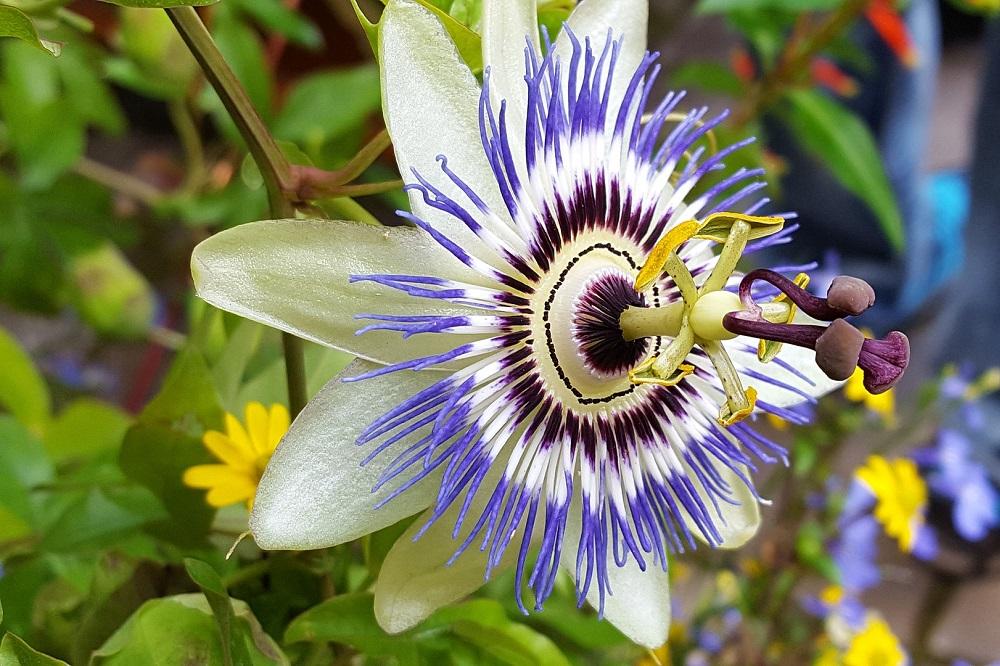 oltivare la Passiflora