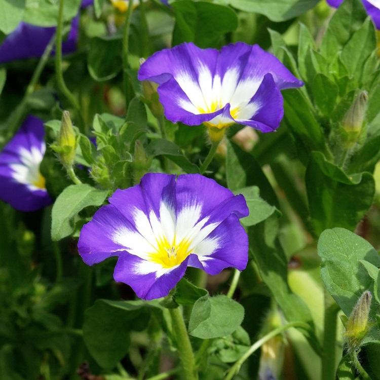 Piante-rampicanti-per-il-terrazzo-Convolvulus-tricolor