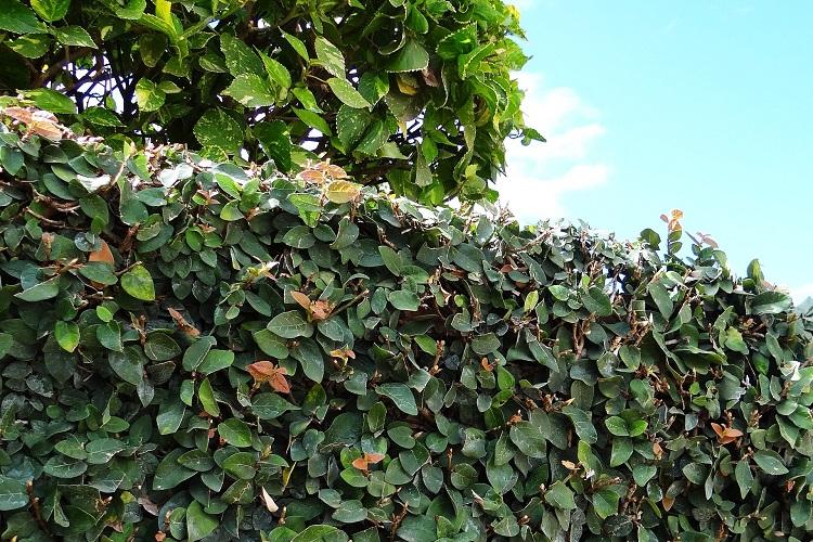 Piante rampicanti per il terrazzo - Ficus pumila