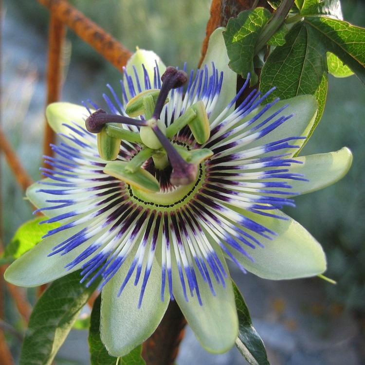 Piante-rampicanti-per-il-terrazzo-Passiflora-caerulea