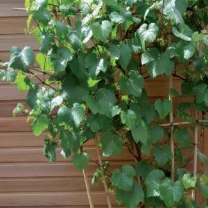 Piante-rampicanti-per-il-terrazzo-Vite-da-uva
