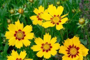 balcone fiorito in estate - Coreopsis