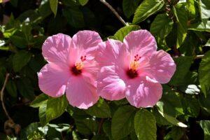 balcone fiorito in estate - Ibisco