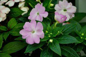 balcone fiorito in estate - Impatiens