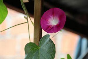 balcone fiorito in estate - Ipomea