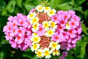 balcone fiorito in estate - Lantana