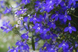 balcone fiorito in estate - Lobelia