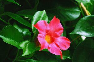 balcone fiorito in estate - Mandevila