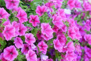 balcone fiorito in estate - Petuniabalcone fiorito in estate - Petunia