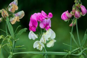 balcone fiorito in estate - Pisello odoroso