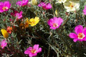 balcone fiorito in estate - Portulaca grandiflora