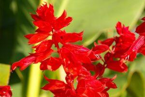 balcone fiorito in estate - Salvia splendens