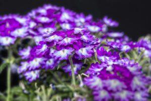 balcone fiorito in estate - Verbena