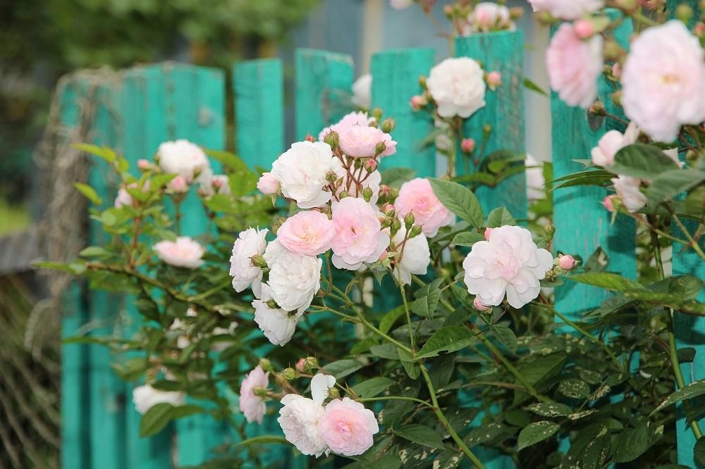 coltivare le rose rampicanti e sarmentose
