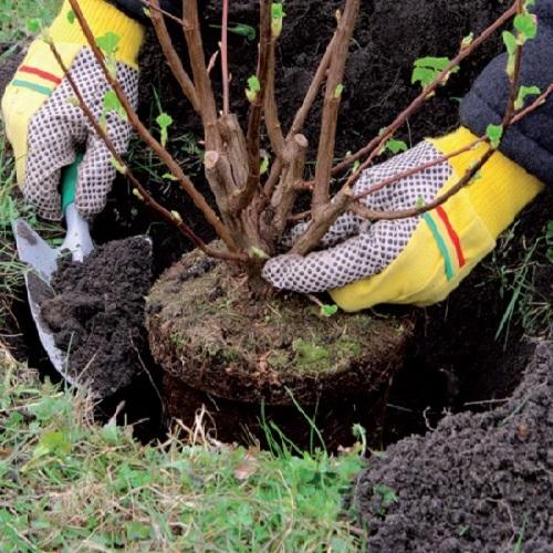 piantare un arbusto in giardino
