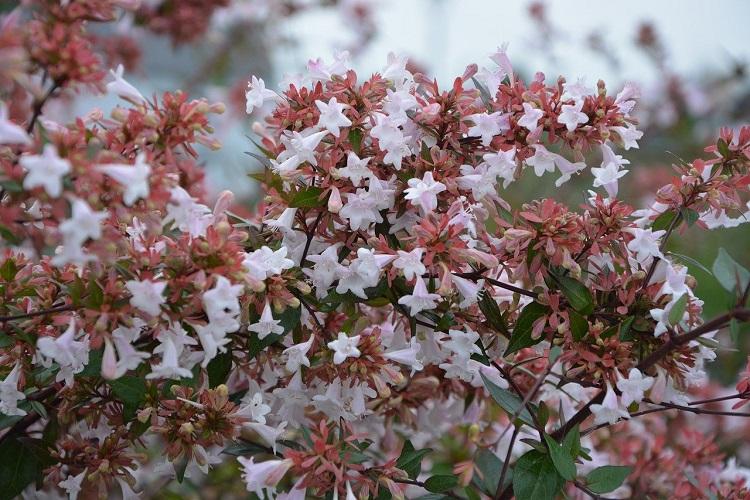 Piante per il terrazzo in autunno - Abelia grandiflora