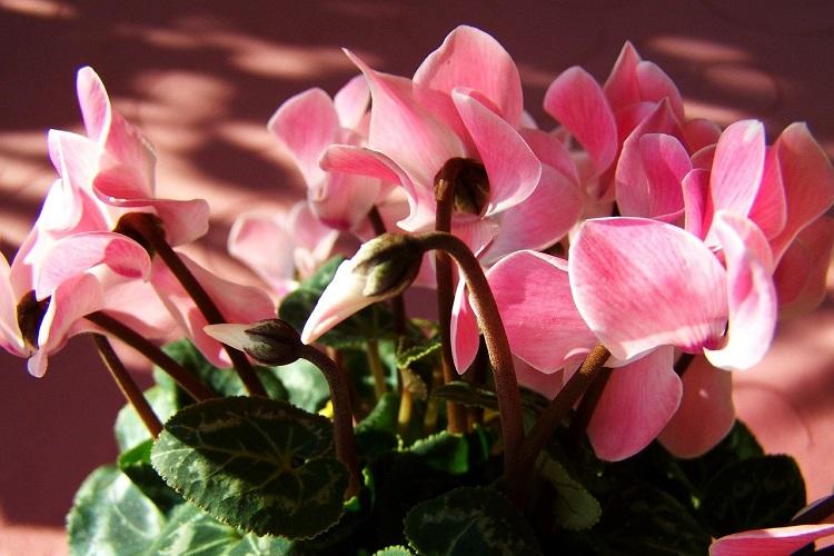 Piante per il terrazzo in autunno - Ciclamini
