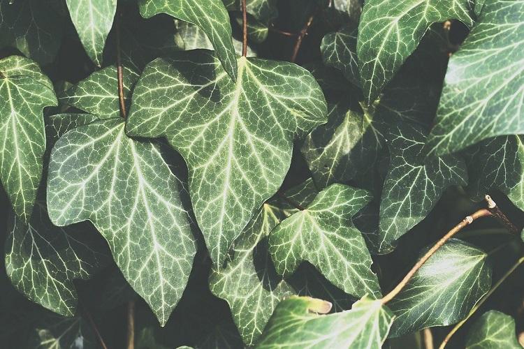 Piante per il terrazzo in autunno - Edera