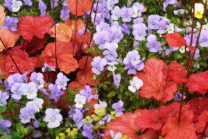 Piante per il terrazzo in autunno - Heuchera e Viole