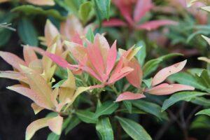 Piante per il terrazzo in autunno - Pieris japonica