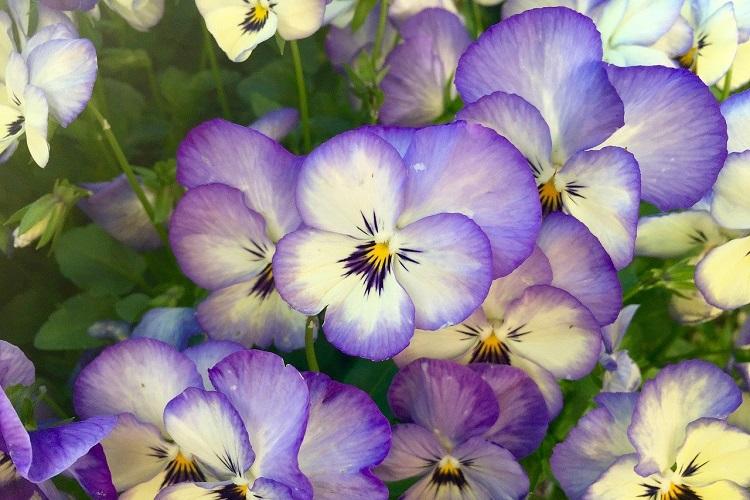 Piante per il terrazzo in autunno - Viola del pensiero
