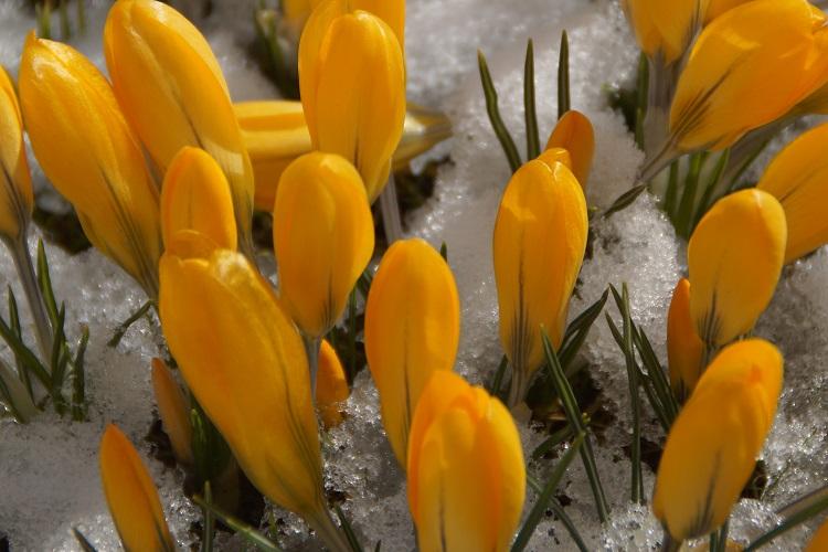 coltivare i bulbi autunnali - Crocus