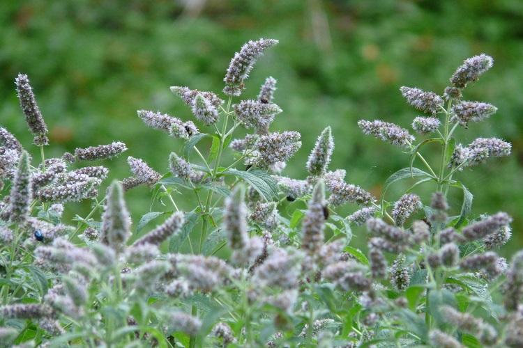 coltivare la Menta - Mentha longifolia